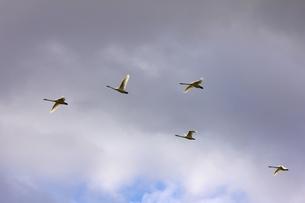 空飛ぶ白鳥の写真素材 [FYI00147655]