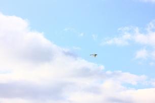 空飛ぶ白鳥の素材 [FYI00147663]