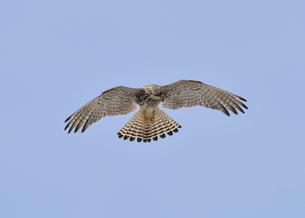 チョウゲンボウ雌飛翔の写真素材 [FYI00147669]