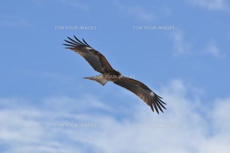 青空を飛ぶトビの写真素材 [FYI00147699]