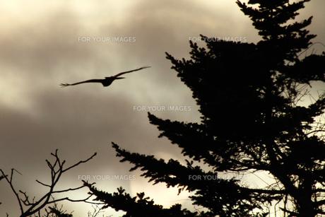 夕日に向かって飛空するトビの写真素材 [FYI00147811]
