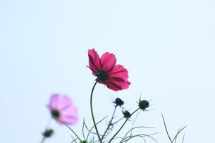 ワインレッドの花の写真素材 [FYI00147860]
