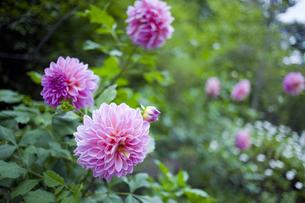 ピンクのダリアの写真素材 [FYI00147869]