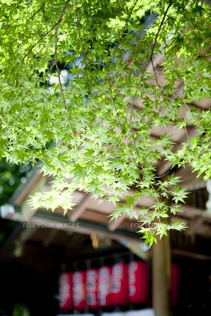京都の夏の紅葉の写真素材 [FYI00147879]