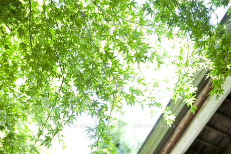 京都の夏の紅葉の写真素材 [FYI00147883]
