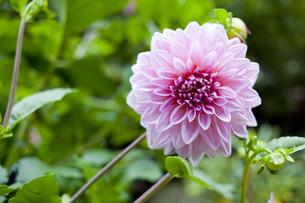ピンクのダリアの写真素材 [FYI00147885]