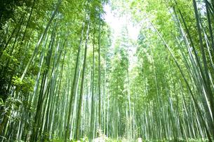 京都嵐山の竹やぶの写真素材 [FYI00147887]