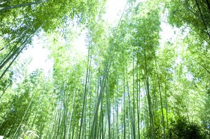 京都嵐山の竹やぶの写真素材 [FYI00147889]