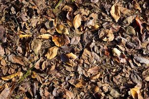 落ち葉の写真素材 [FYI00147905]