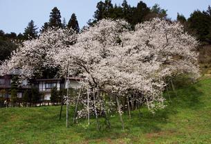 臥龍桜の写真素材 [FYI00147965]