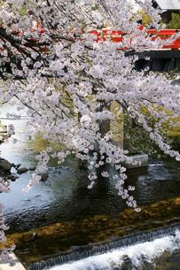 高山の桜の写真素材 [FYI00147971]