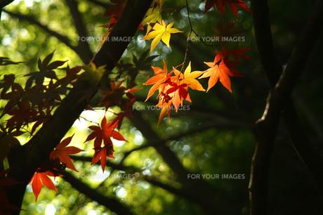 色づいた紅葉の写真素材 [FYI00148022]