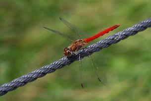 ロープにとまるトンボの写真素材 [FYI00148131]