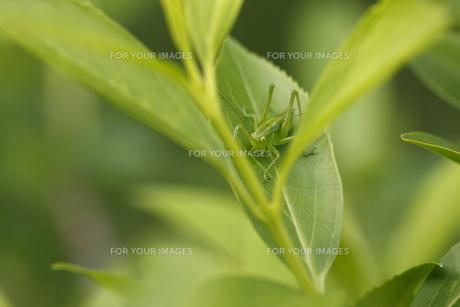 バッタの幼虫の写真素材 [FYI00148143]