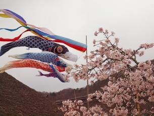 桜と鯉のぼりの写真素材 [FYI00148186]
