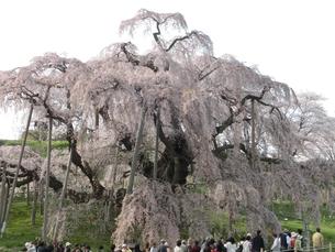 三春の滝桜の写真素材 [FYI00148209]