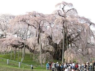 滝桜の写真素材 [FYI00148238]