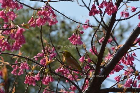 花とウグイスの写真素材 [FYI00148290]