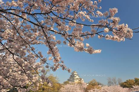 姫路城の桜の写真素材 [FYI00148525]