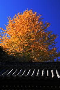 門前の屋根に映える黄葉の写真素材 [FYI00148558]