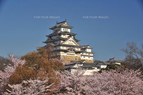 姫路城桜満開1の写真素材 [FYI00148603]