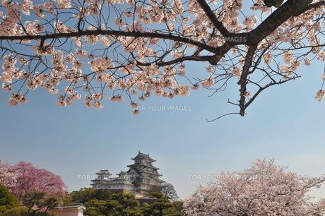 姫路城桜満開4の写真素材 [FYI00148607]