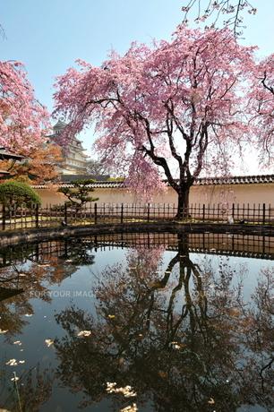 姫路城桜投影の写真素材 [FYI00148616]