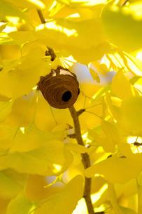 蜂の巣と紅葉の写真素材 [FYI00148713]