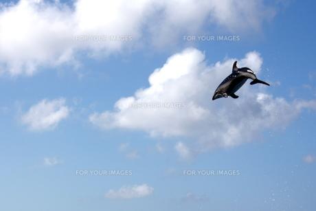 天駈けるイルカの写真素材 [FYI00148842]