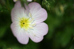 昼咲き月見草の写真素材 [FYI00148912]