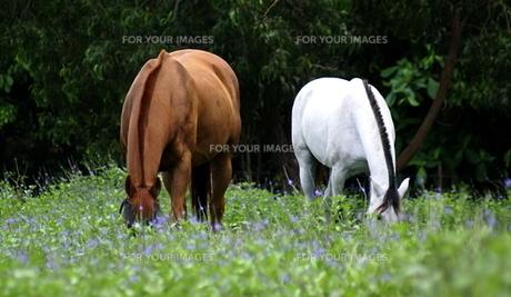 馬の写真素材 [FYI00149248]