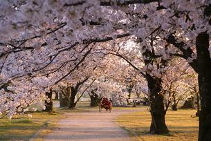 桜の写真素材 [FYI00149254]