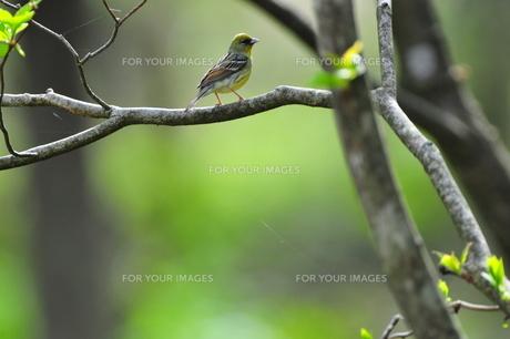 小鳥の素材 [FYI00149273]