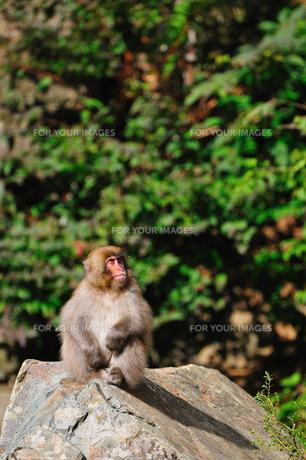 猿の素材 [FYI00149312]