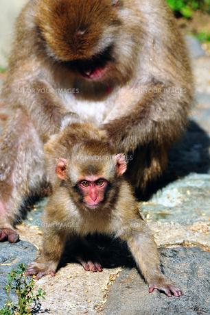 猿の素材 [FYI00149317]