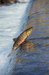 遡上する鮭の写真素材 [FYI00149332]