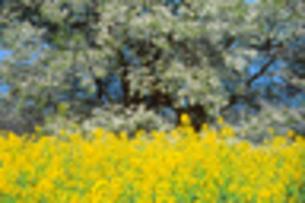 菜の花の素材 [FYI00149337]