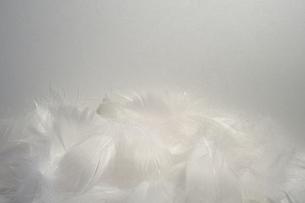 羽毛の写真素材 [FYI00149339]