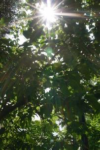 太陽光と葉っぱの写真素材 [FYI00149341]
