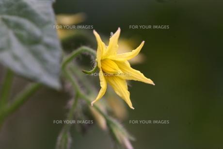 かぼちゃの花の写真素材 [FYI00149381]