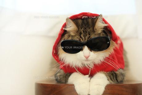 サングラスをかける猫の写真素材 [FYI00149514]