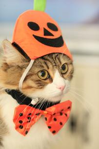 ハロウィン猫の写真素材 [FYI00149520]