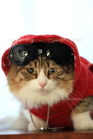 サングラスを掛ける猫の写真素材 [FYI00149522]