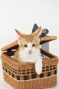 メインクーンの仔猫の素材 [FYI00149523]