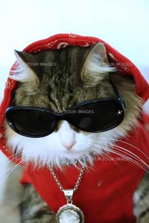 サングラスをかける猫の写真素材 [FYI00149530]