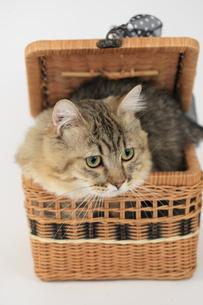 カゴに入る猫の素材 [FYI00149534]