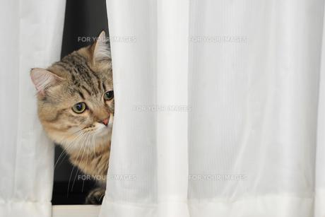 カーテンから顔を覗かせるマンチカンの素材 [FYI00149548]