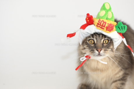 お正月コスプレの猫の素材 [FYI00149575]