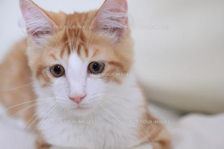 メインクーンの仔猫の素材 [FYI00149583]