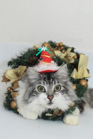 クリスマスの猫の写真素材 [FYI00149622]